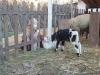 24 - pastore e animali