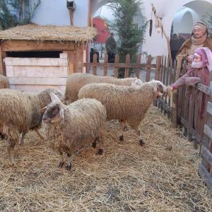 78 uomini e pecore